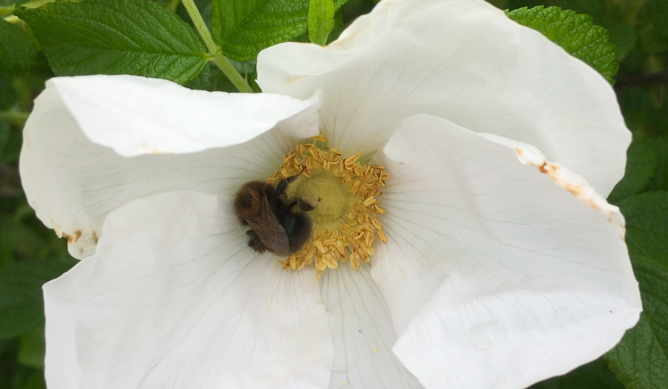 Tree bumblebee in the shade of a rosa rugosa