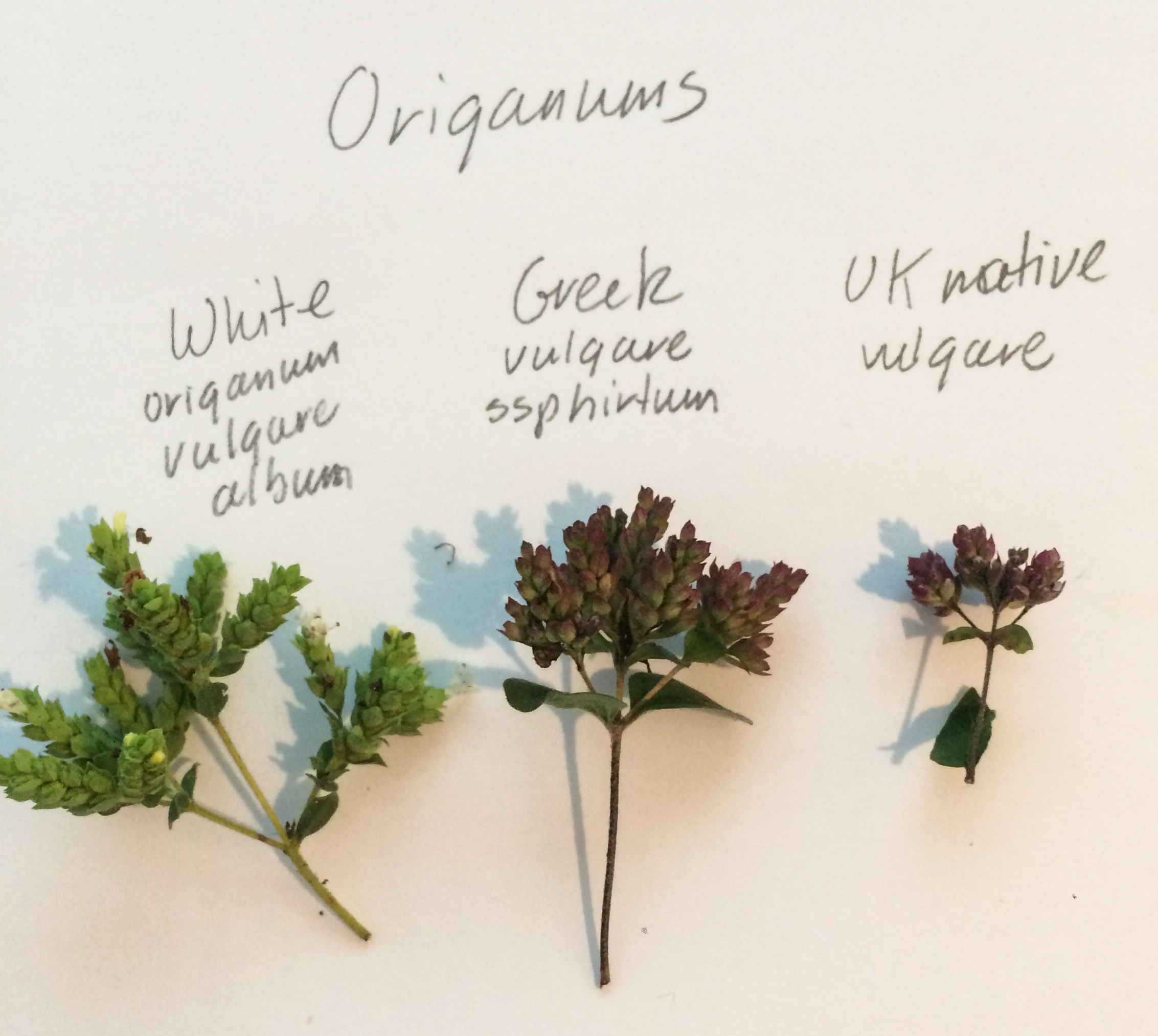 A range of dried origanum samples at rosybee
