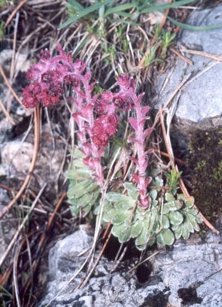Kamenjarka raste na stijenama unutar munikovih ili čistih jelovih šuma