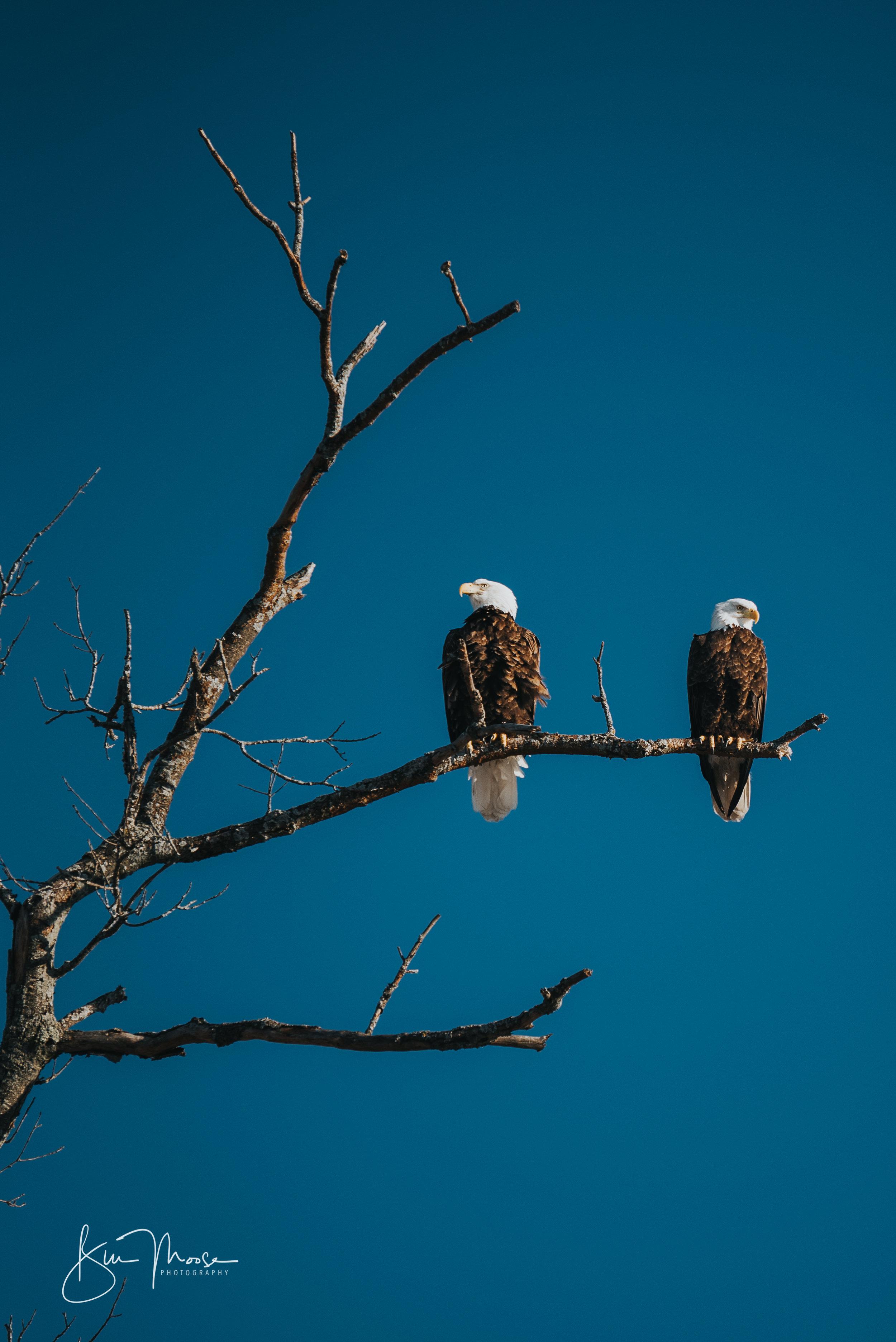 Wisconsin Dells-Nature-American Bald Eagle-4.jpg