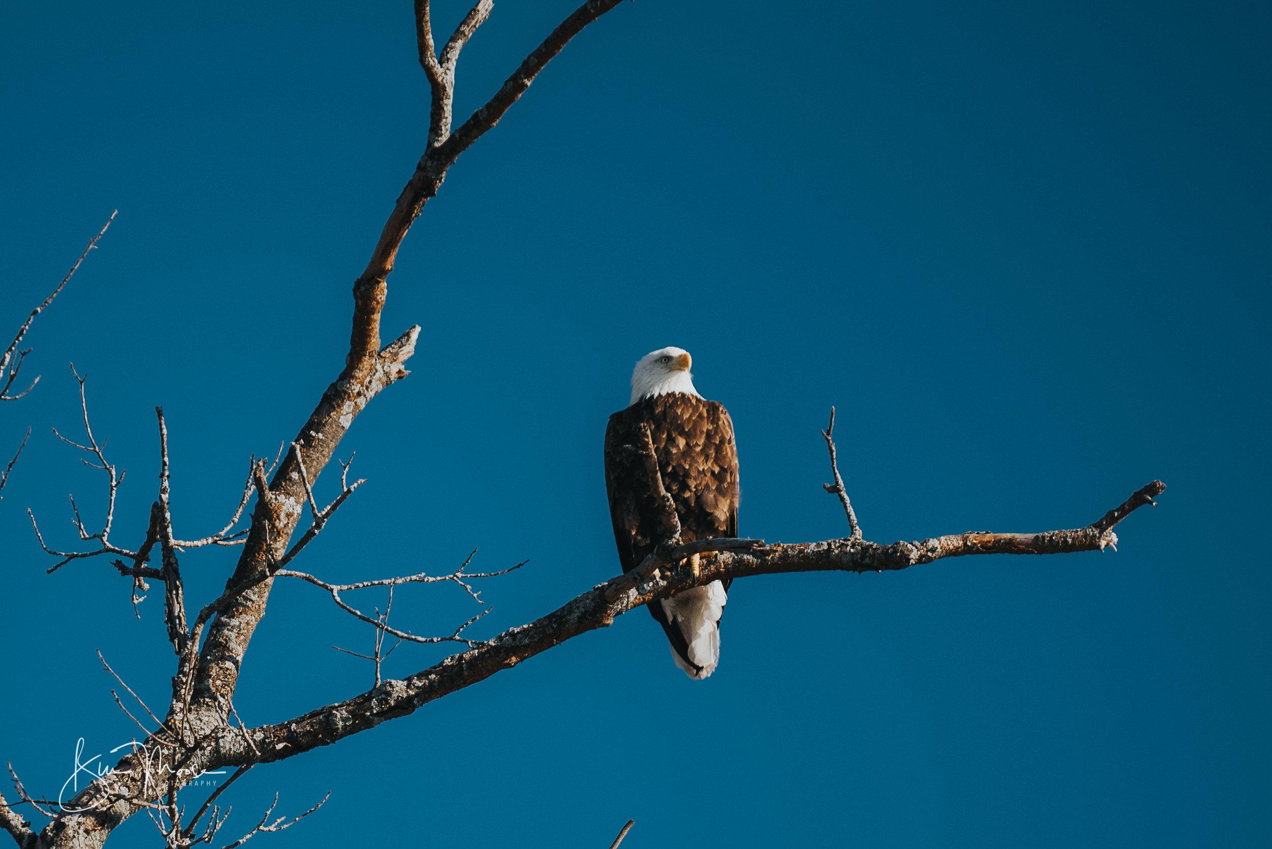 Wisconsin Dells-Nature-American Bald Eagle-6.jpg