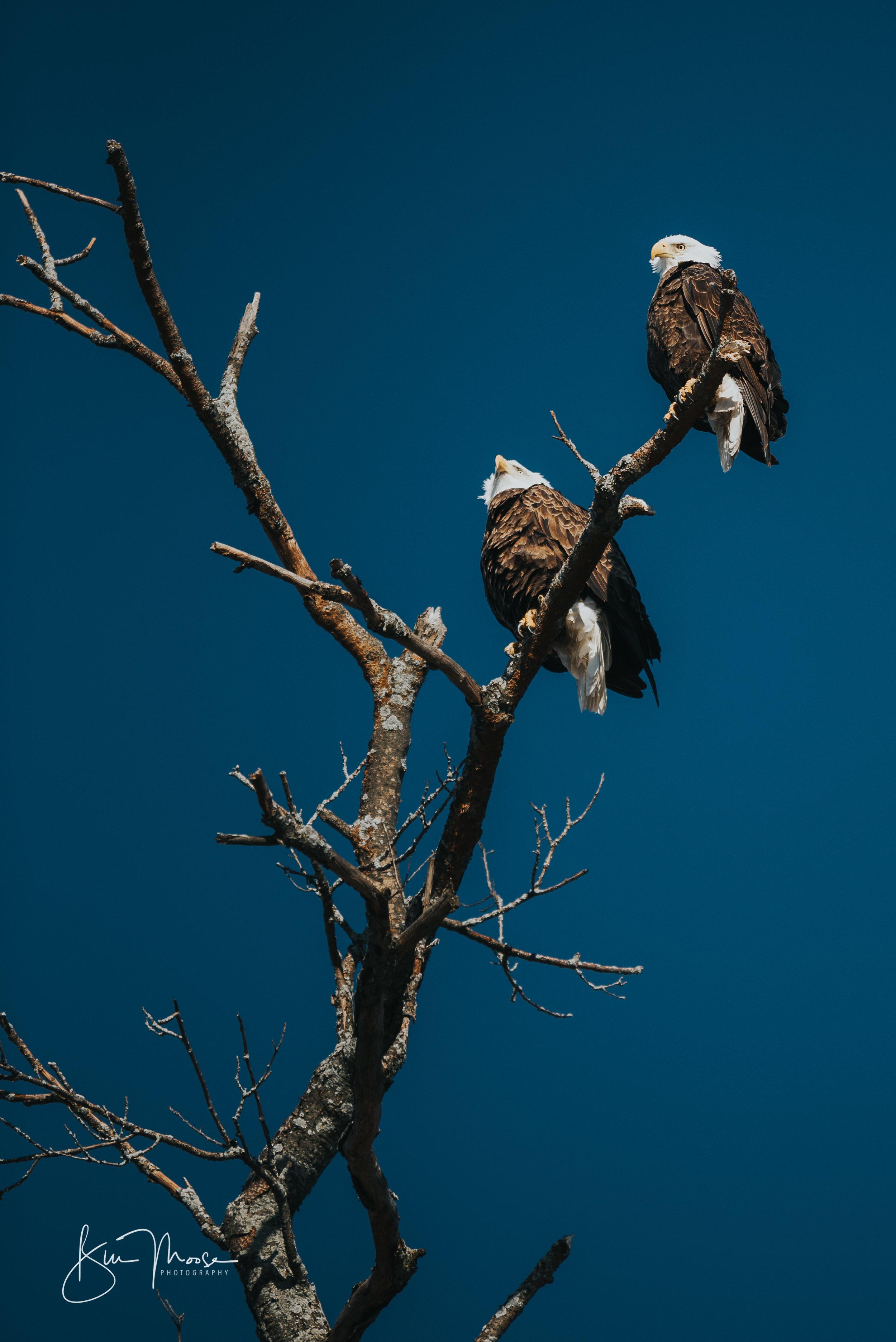 Wisconsin Dells-Nature-American Bald Eagle-5.jpg