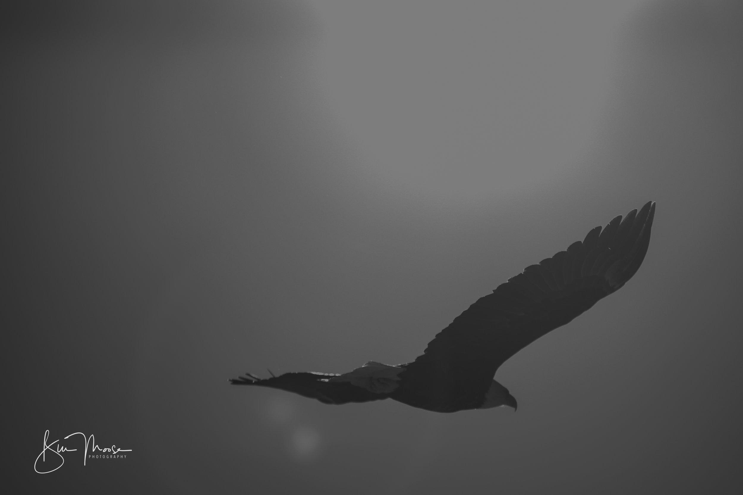 Wisconsin Dells-Nature-American Bald Eagle-8.jpg