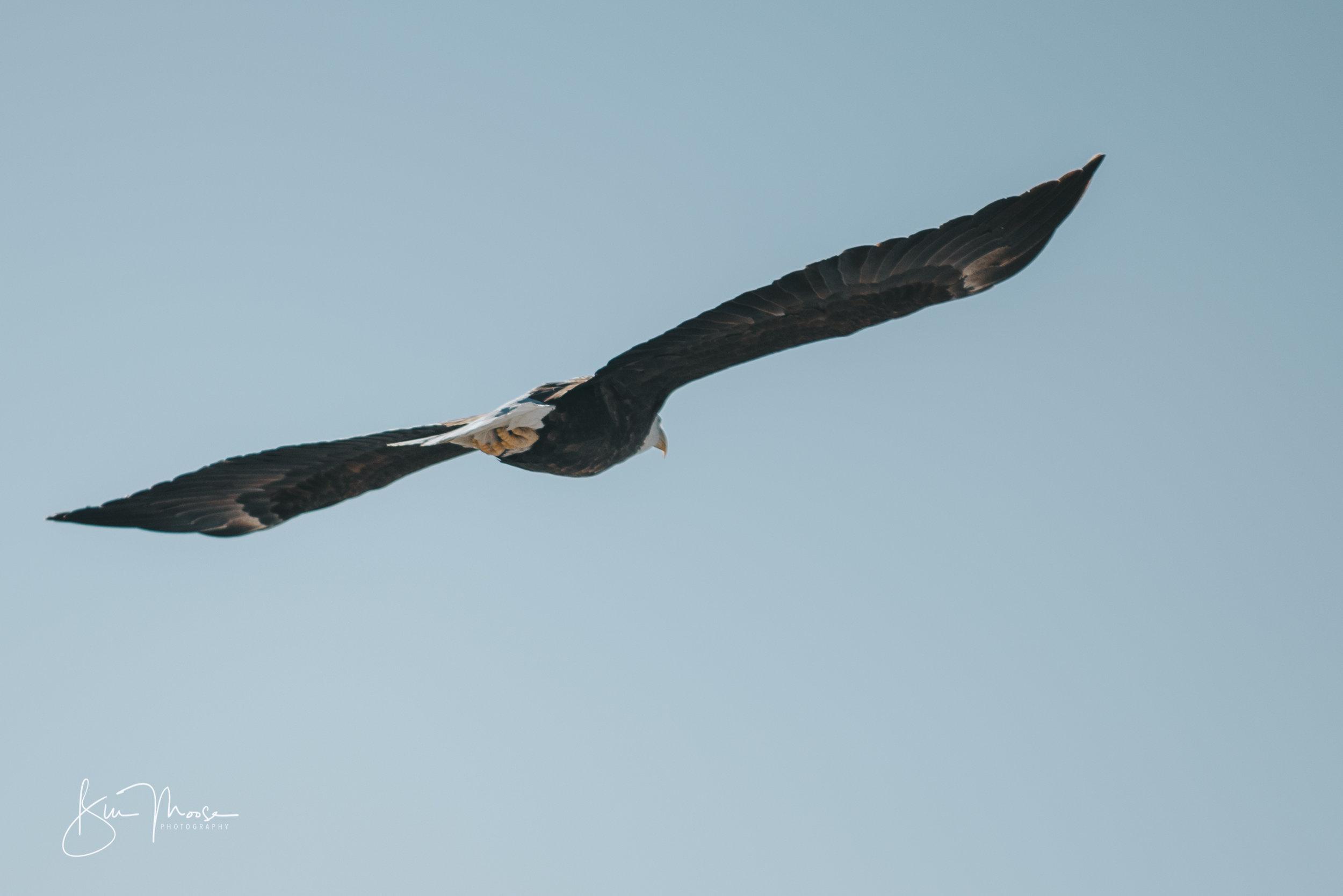 Wisconsin Dells-Nature-American Bald Eagle-9.jpg