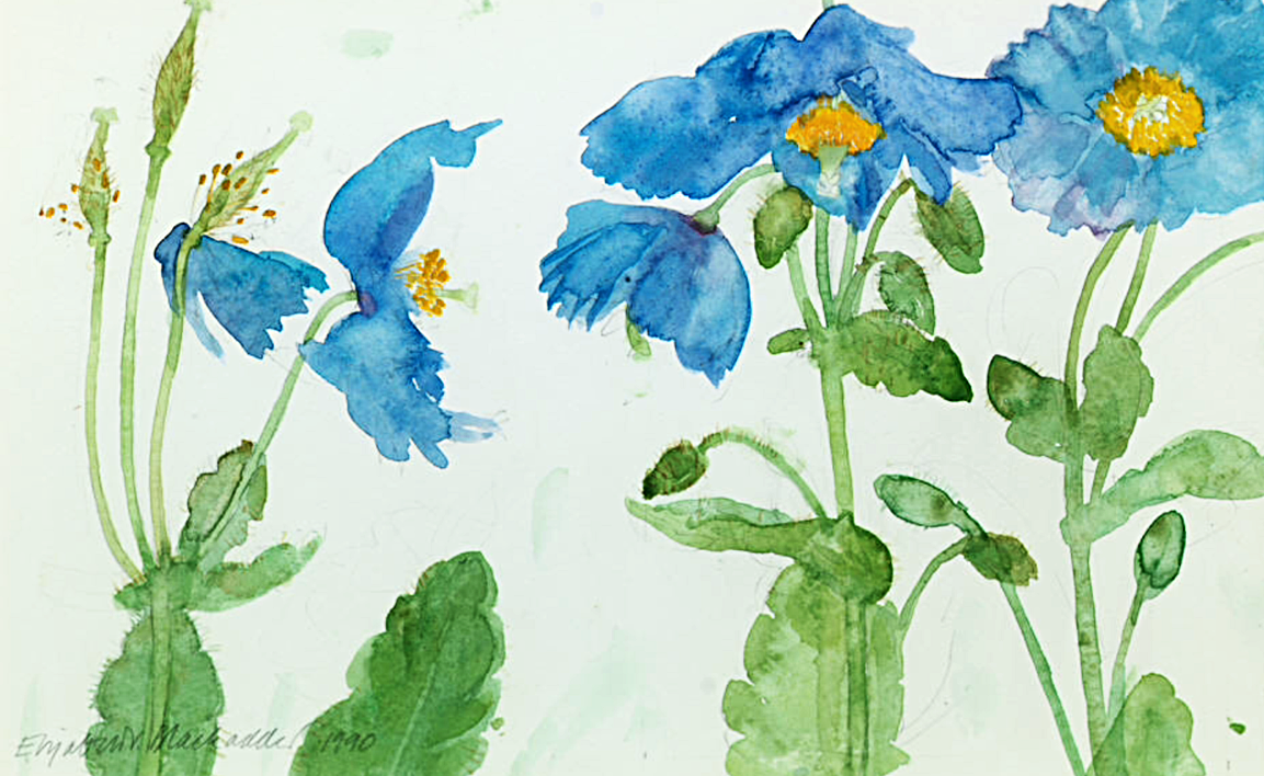 Elizabeth blackadder poppies watercolour