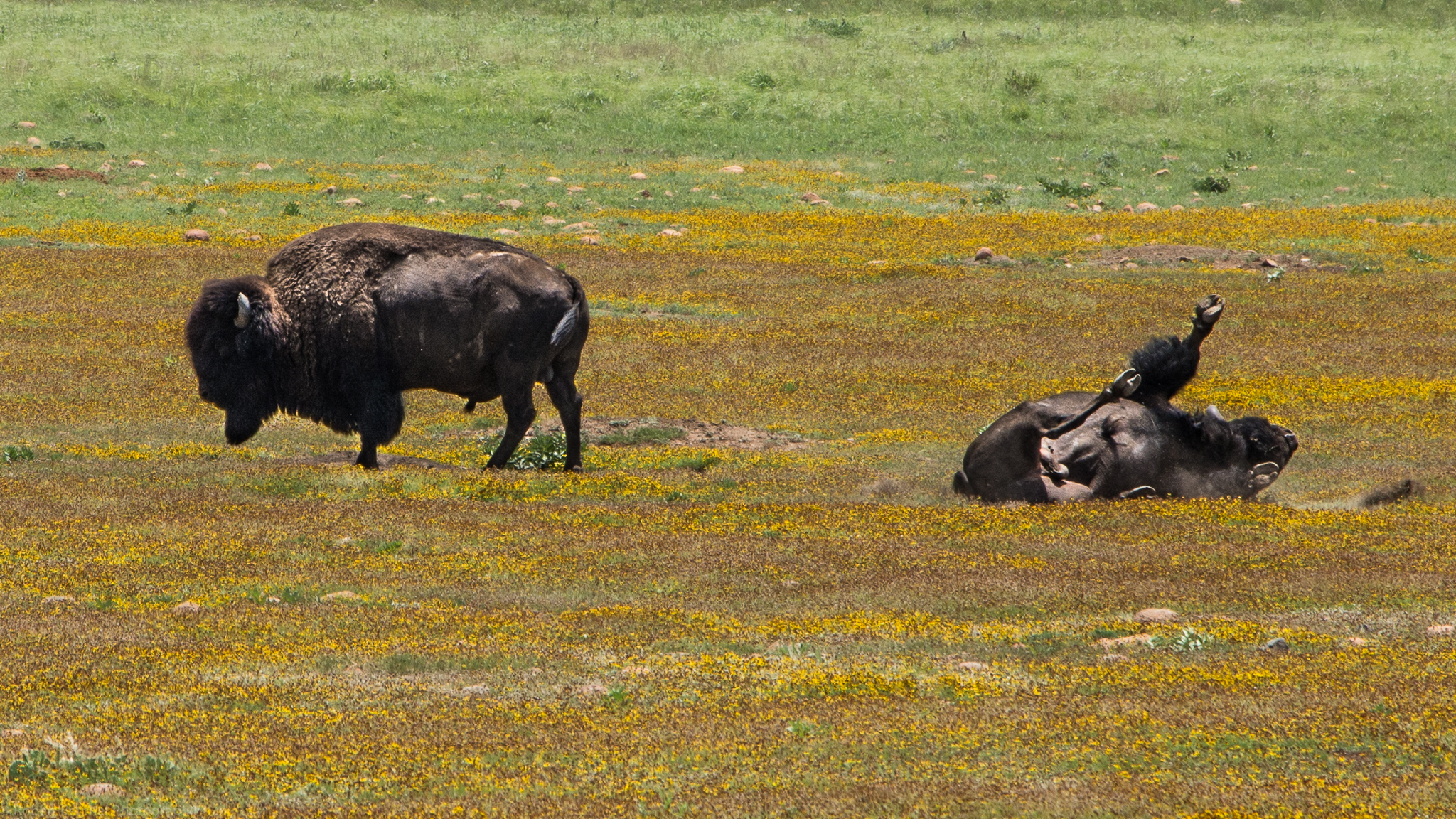 Buffalo at Wichita Mountain Reserve