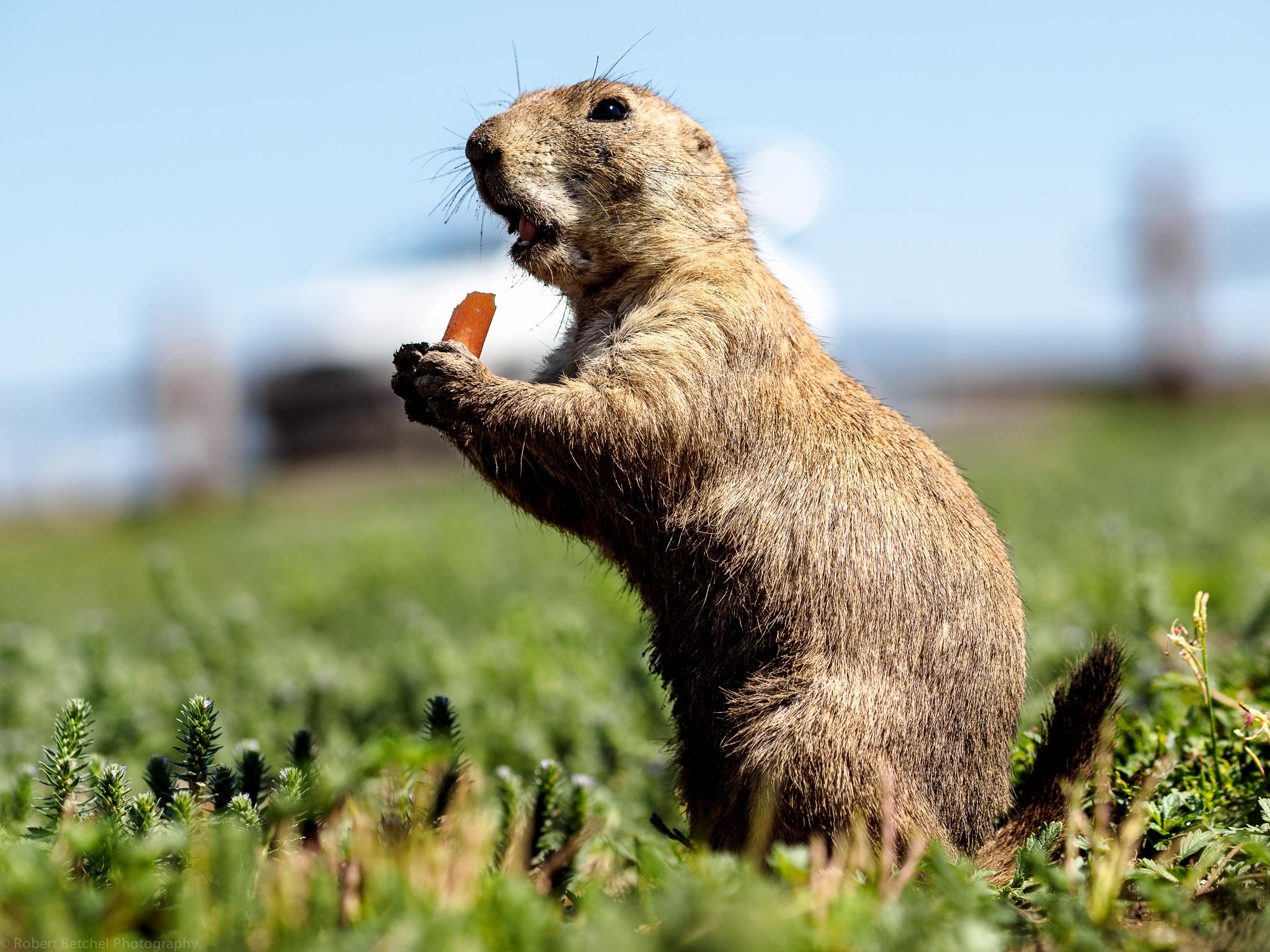 Prairie dog enjoying a snack at Wichita Mountains Wildlife Refuge. Photo by Betchel Photography of Edmond