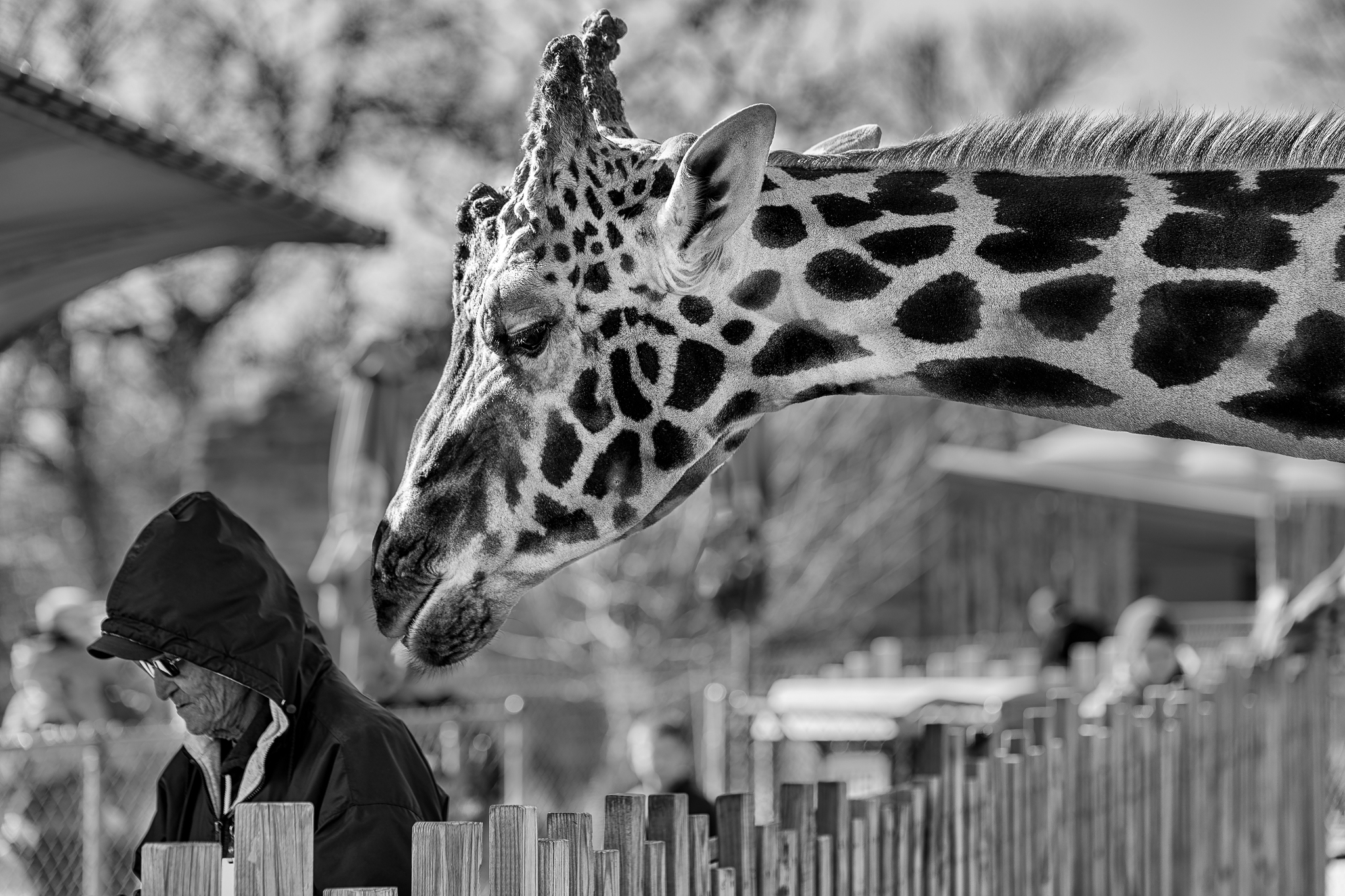 Contemplating in unison.  Oklahoma City Zoo- Giraffe and attendant