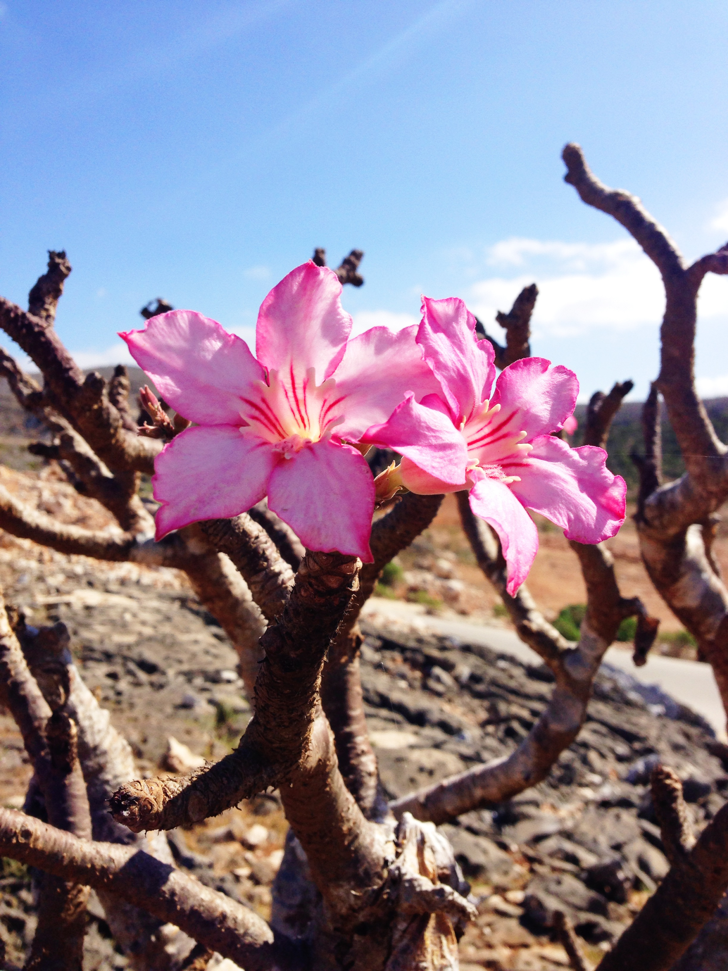 IMG_3537-bottle tree flower Adenium.JPG