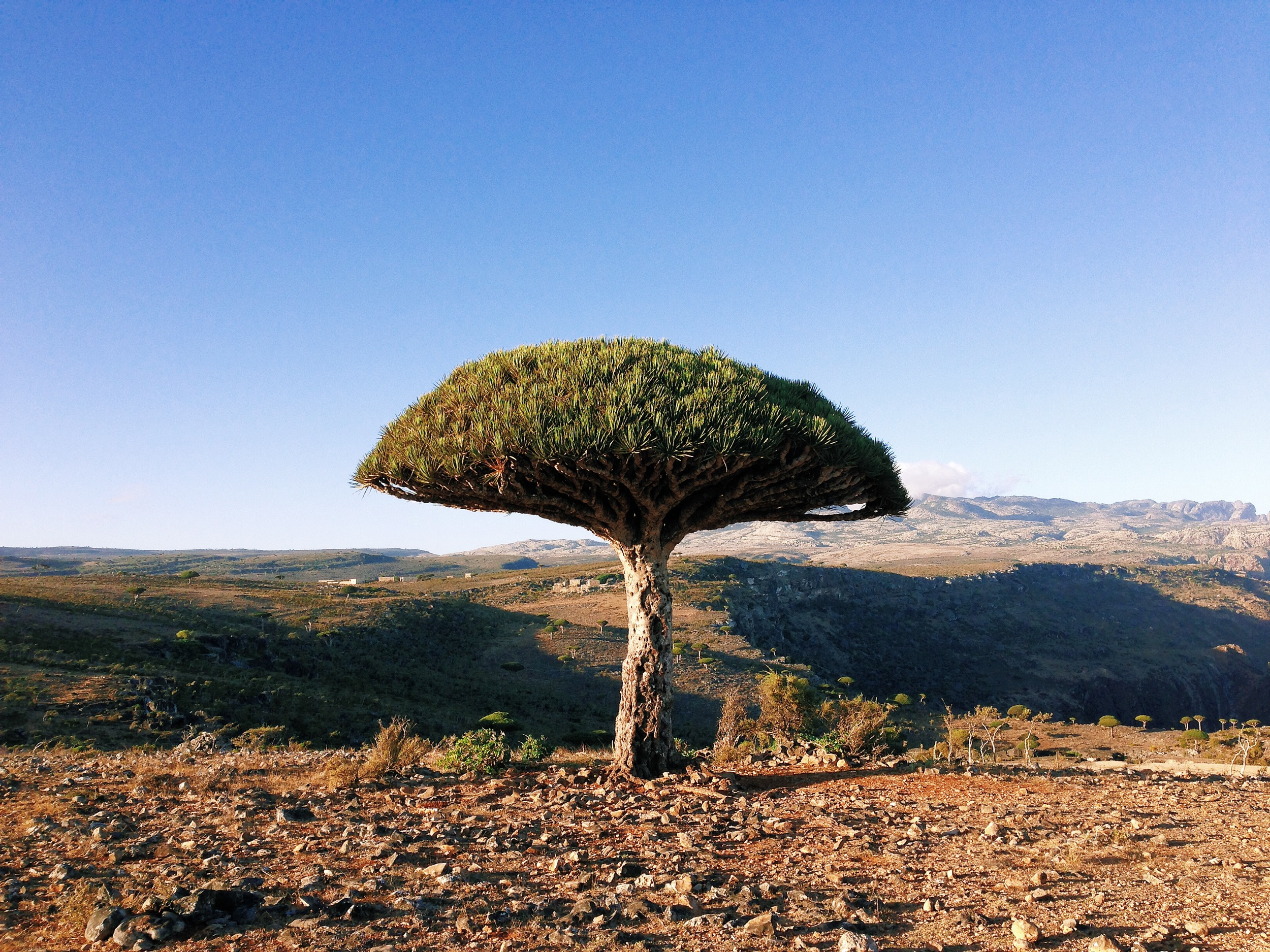 IMG_3533-dragon blood tree.JPG