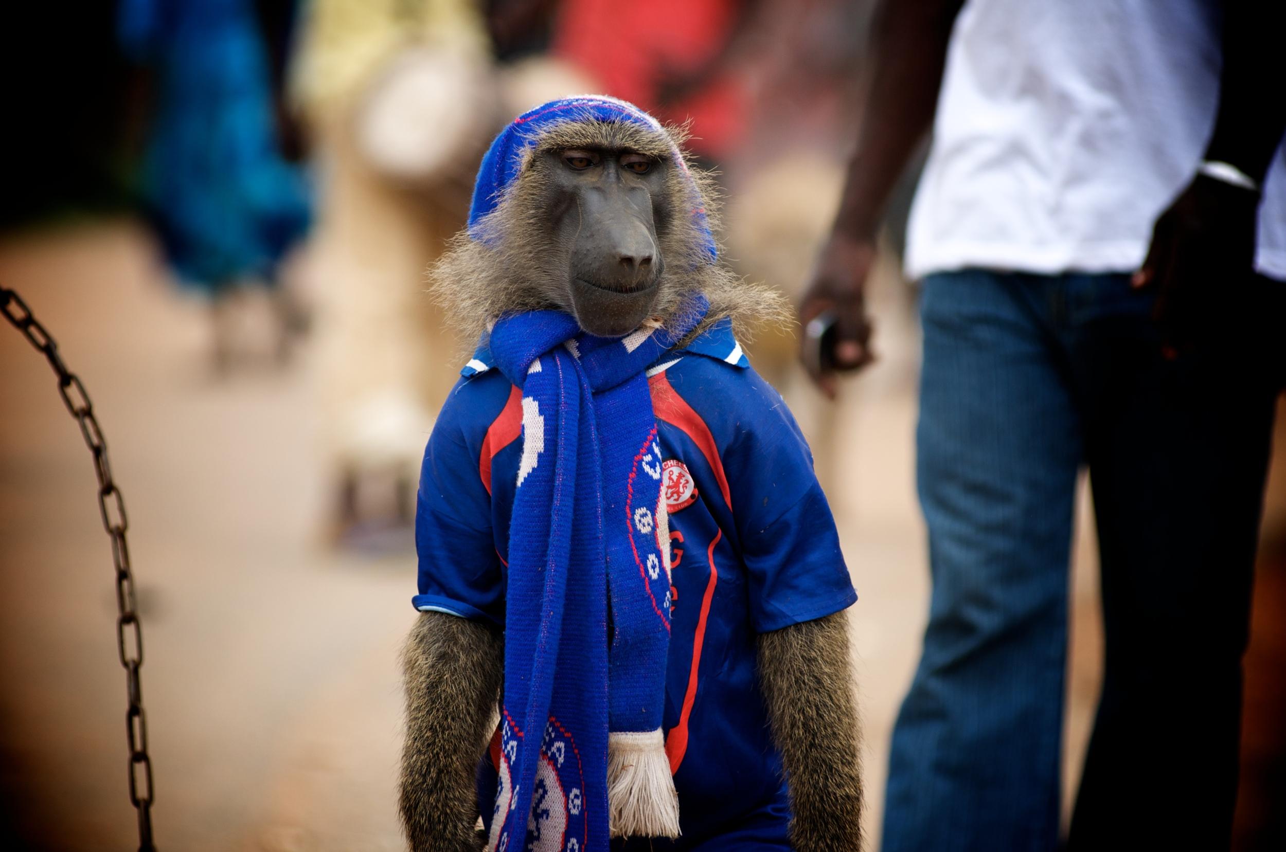 baboon chelsea.jpg