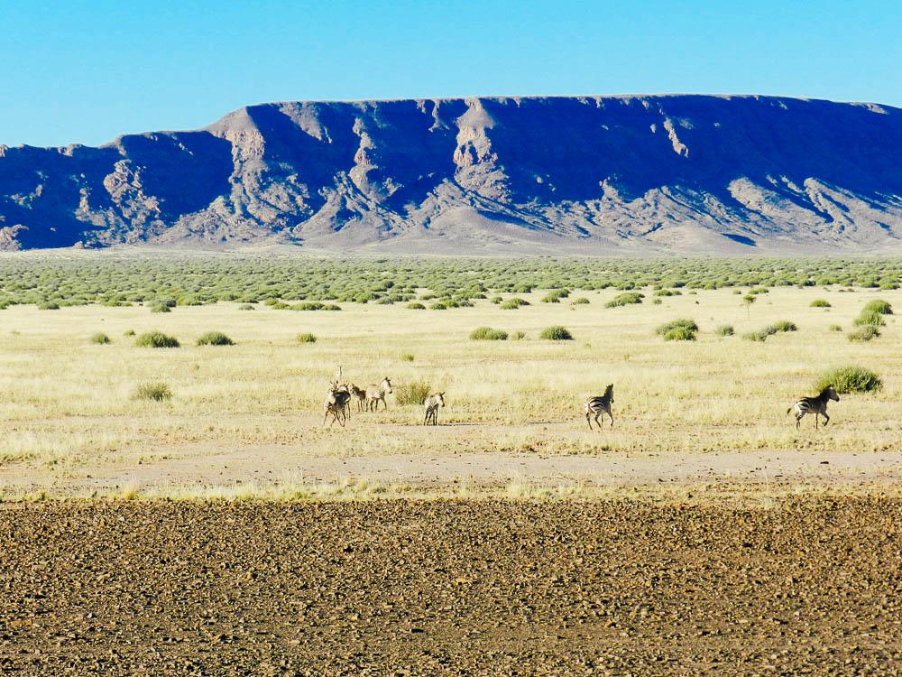namibia safari zebra