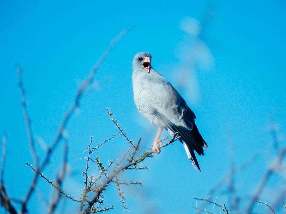 namib desert bird africa
