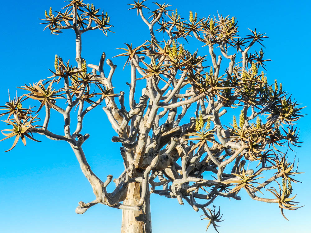 namib desert tree africa