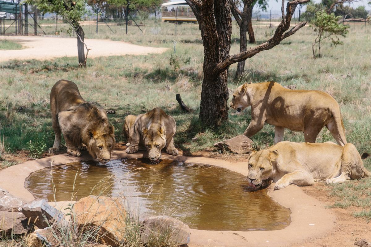 spiritedpursuit_leelitumbe_lionsafaripark-12.jpg