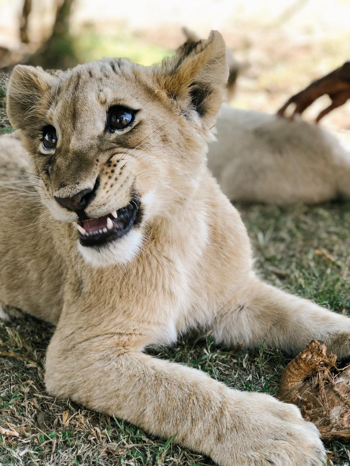 spiritedpursuit_leelitumbe_lionsafaripark-61.jpg
