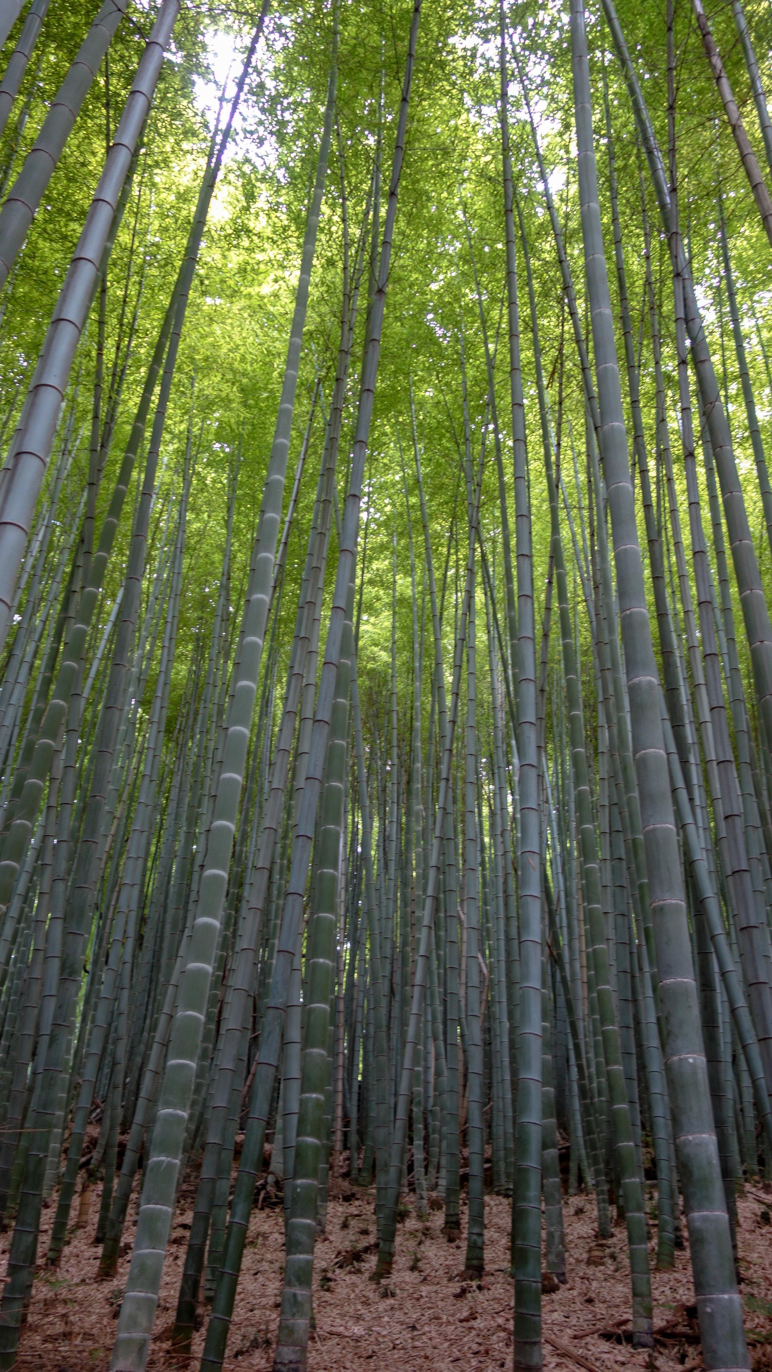 Arashiyama-Bamboo-Grove-2.jpg