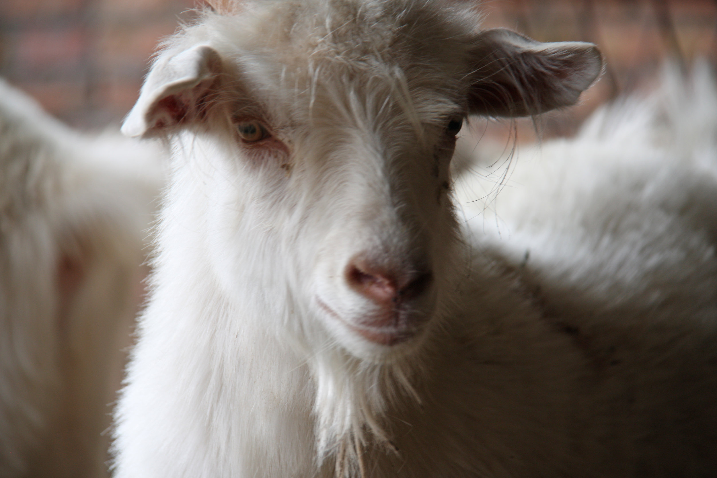 Cashmere-goats – full of character.