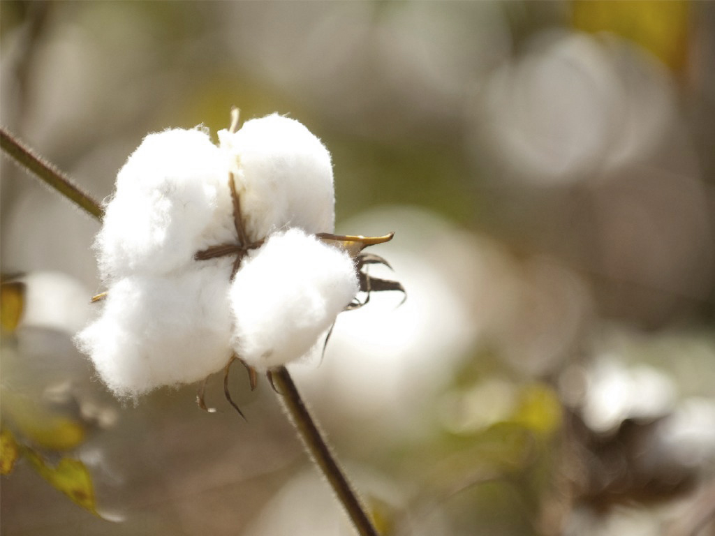 pima_cotton