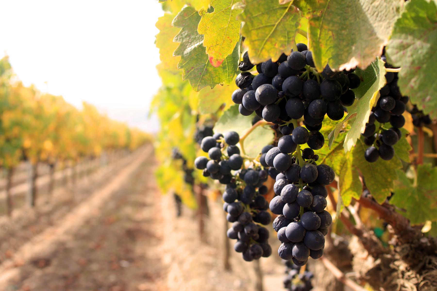 red-grapes-Ventana-9_07.jpg