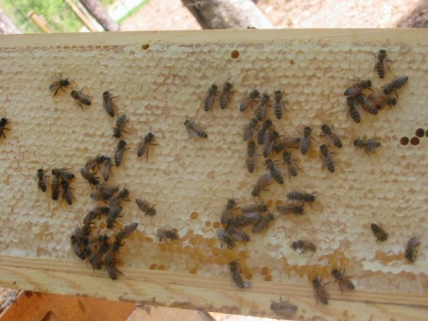 Bees on a frame of honey.