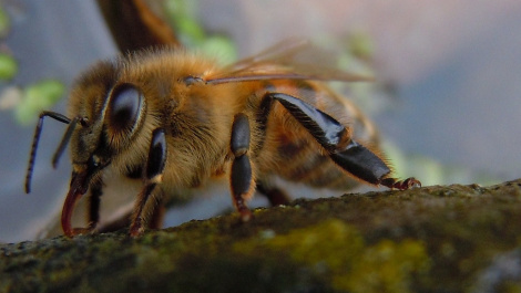 Honey bee worker. Image source, unknown.