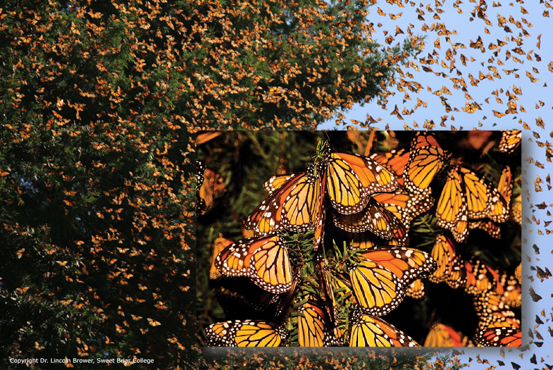 The beleaguered monarch butterfly, an important pollinator. Here, a mass of butterflies explode forth in spring migratory flight. Copyright© Dr. Lincoln Brower, Sweet Briar College. Photo collage by Todd Warner.