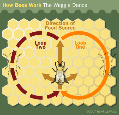 """Honey bee waggle dance. -(c) Copyright HowStuffWorks - """" Bee Navigation """""""