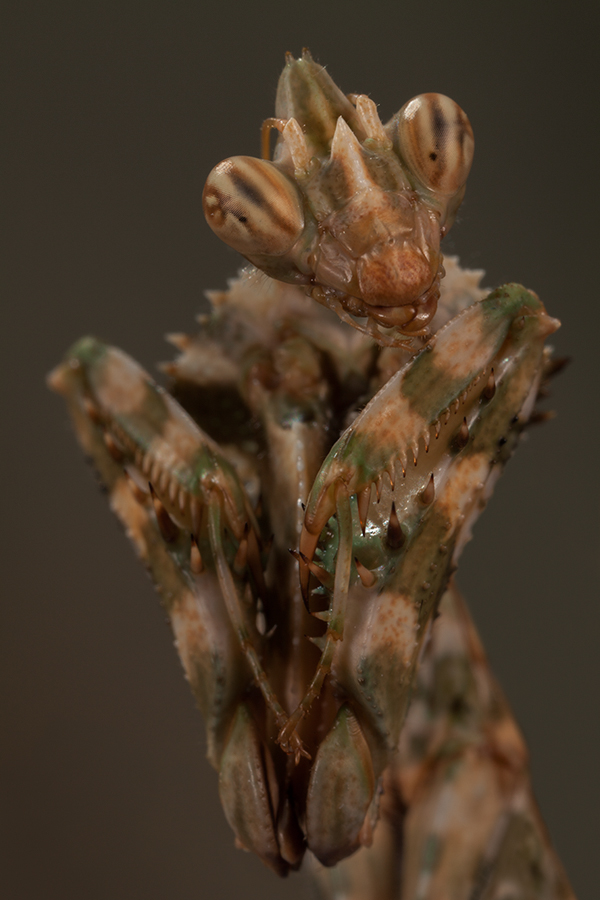 Thistle Mantis