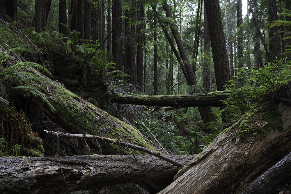 redwoods at Kruse Rhododendron State Natural Reserve California
