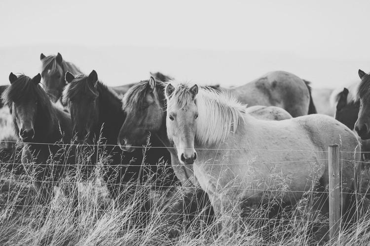 iceland,+travel+photography,+jennifer+picard+photography,+icelandic+horses-2.jpeg