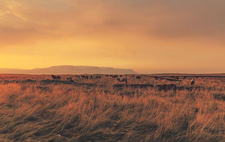 iceland,+travel+photography,+jennifer+picard+photography,+icelandic+horses.jpeg