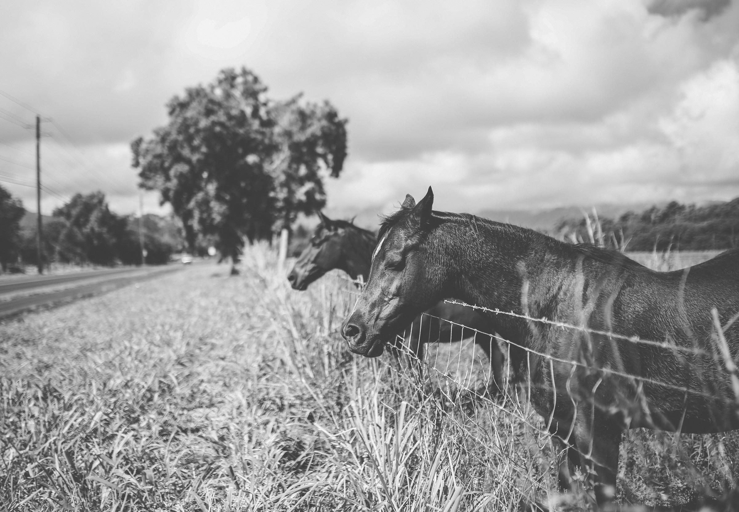 IMG_2368-KAUAI-HAWAII-HORSES-JENNIFER-PICARD-PHOTOGRAPHY.jpg