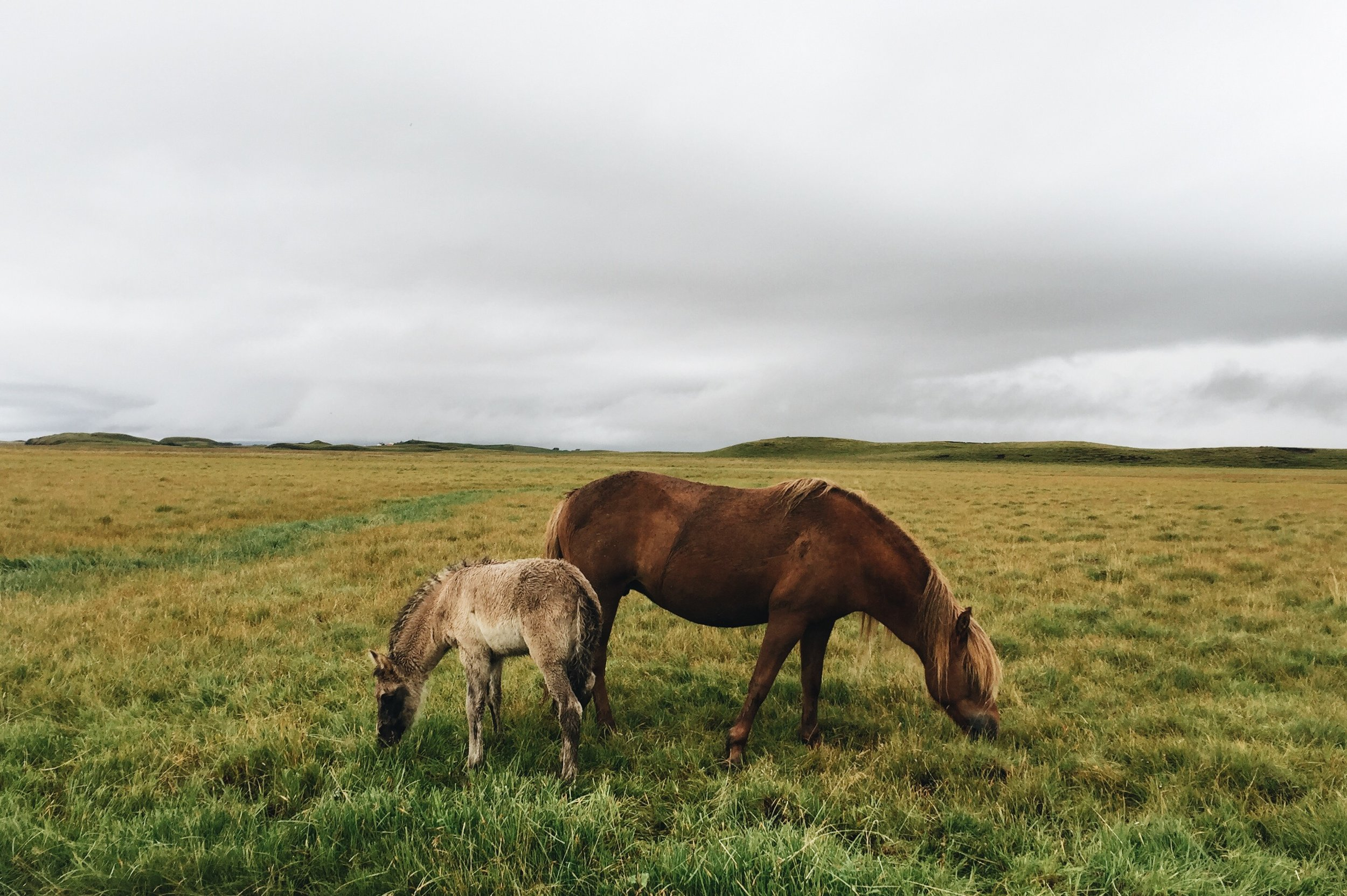 Mare and foal, Southeast Iceland