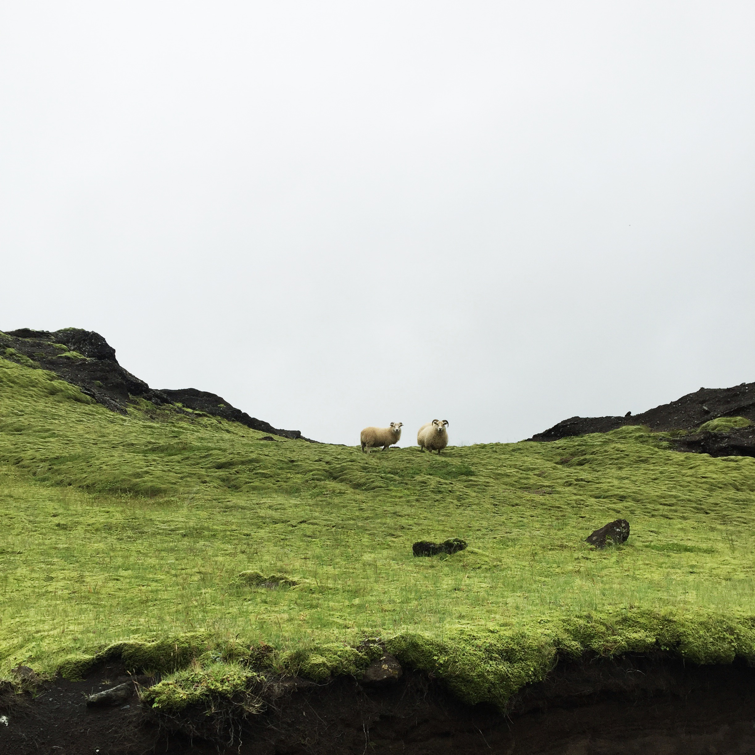 Icelandic Sheep, South Iceland