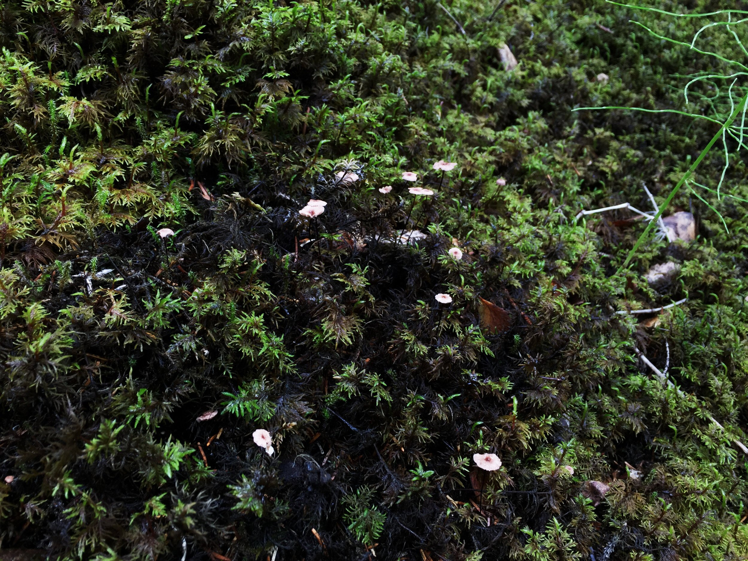tiny mushrooms, Hallormsstaður National Forest