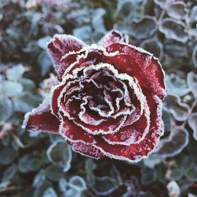 This cold rose, still frosted by mid morning, on the day we left @troutlakeabbey