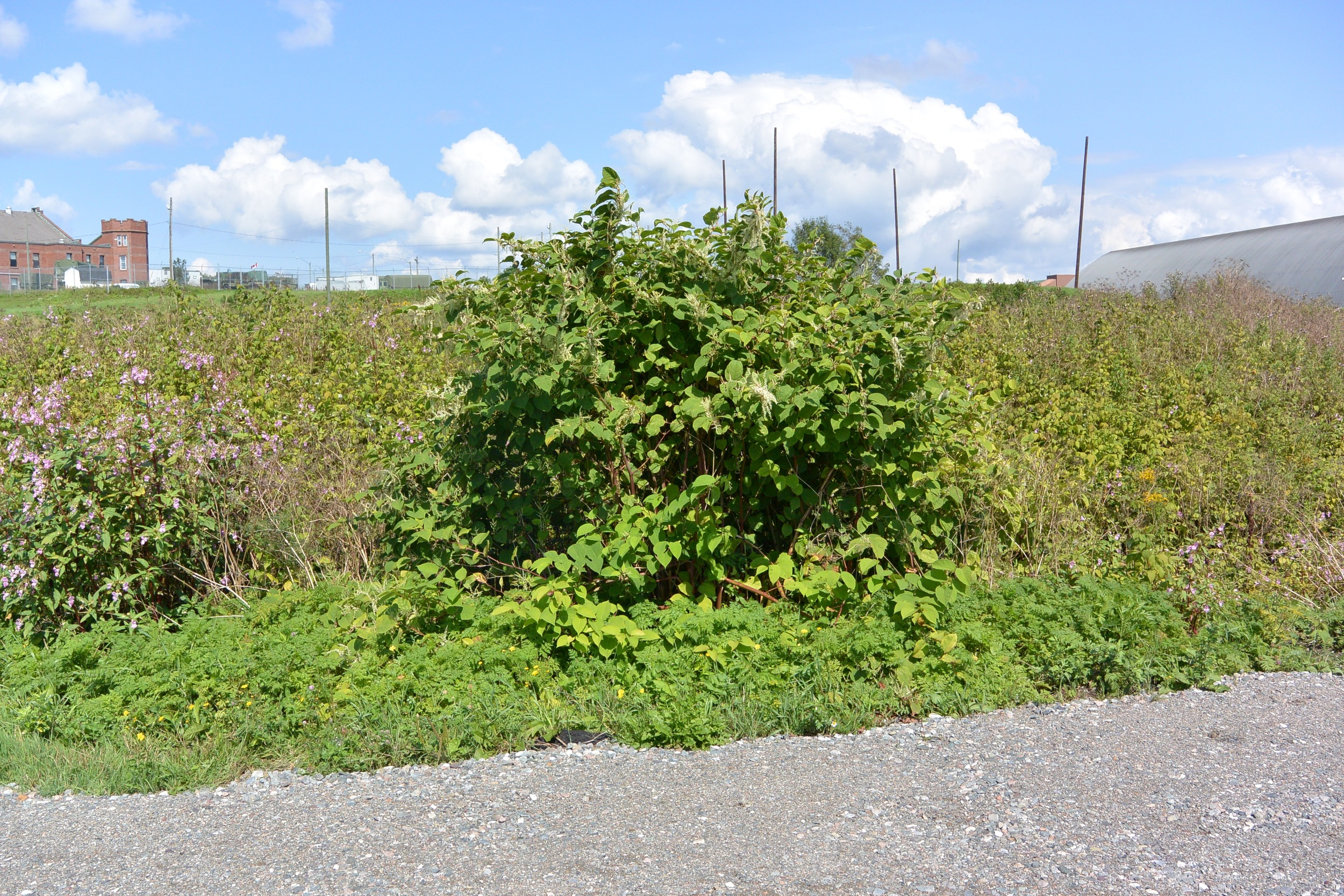 Invasive Japanese Knotweed before removal.
