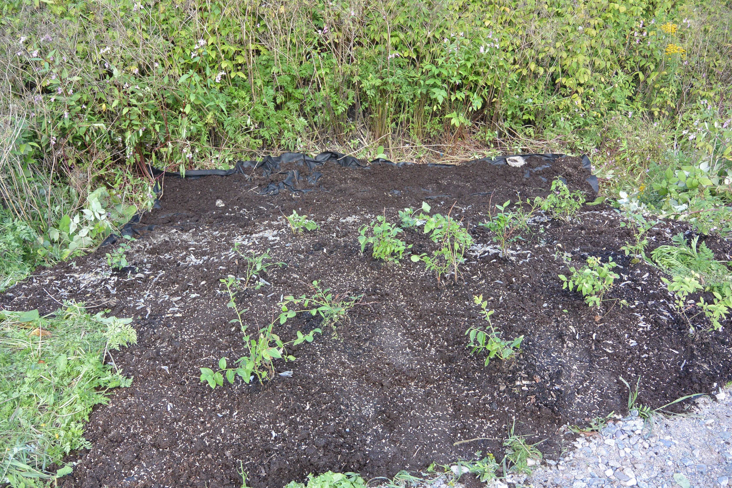 Blueberries planted after the removal of the Japanese Knotweed.