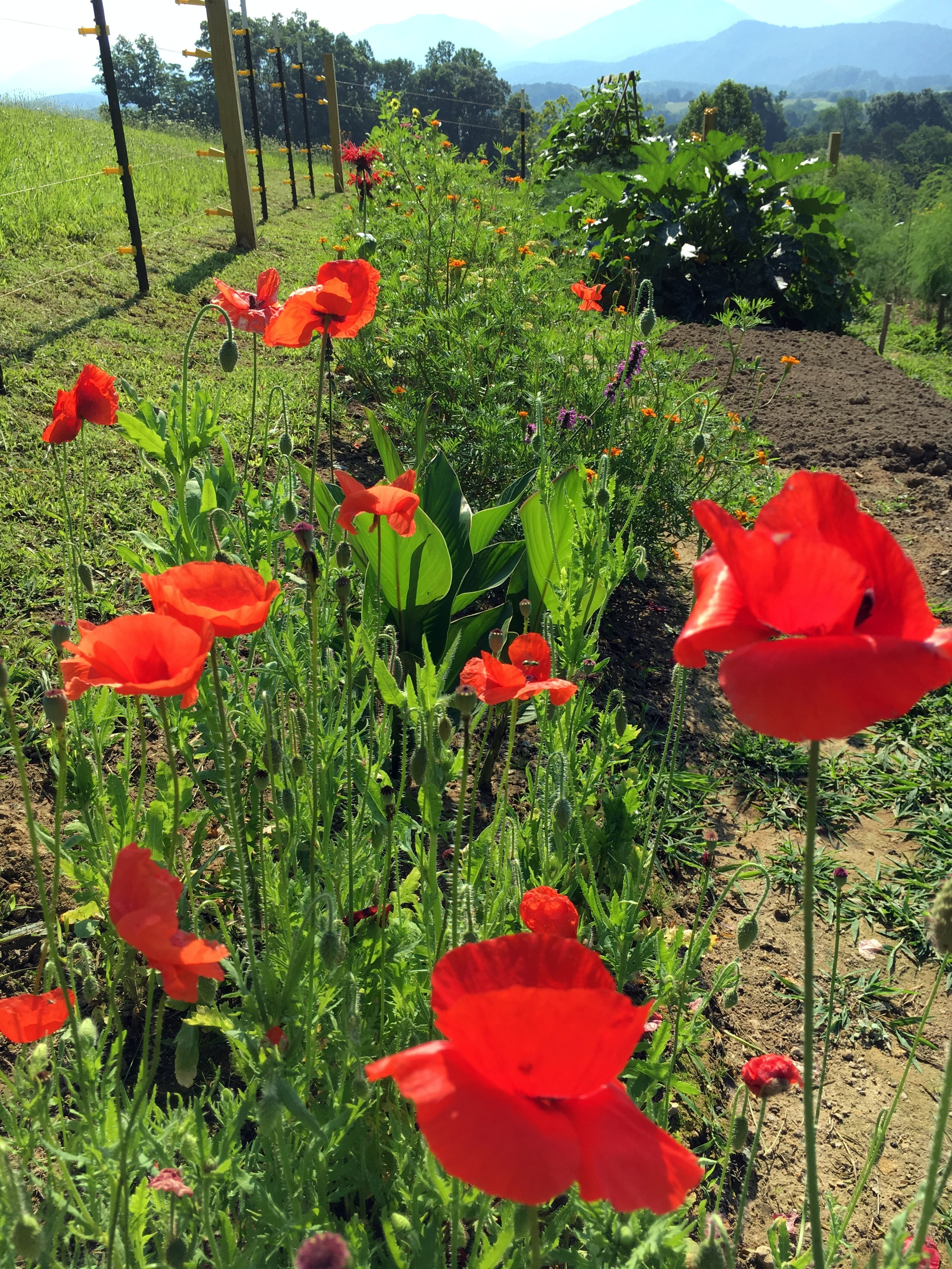 As wonderful as the vegetables are, it's the flowers that make me smile, especially these poppies, a daily reminder of my friends at  Tall Poppy Writers .