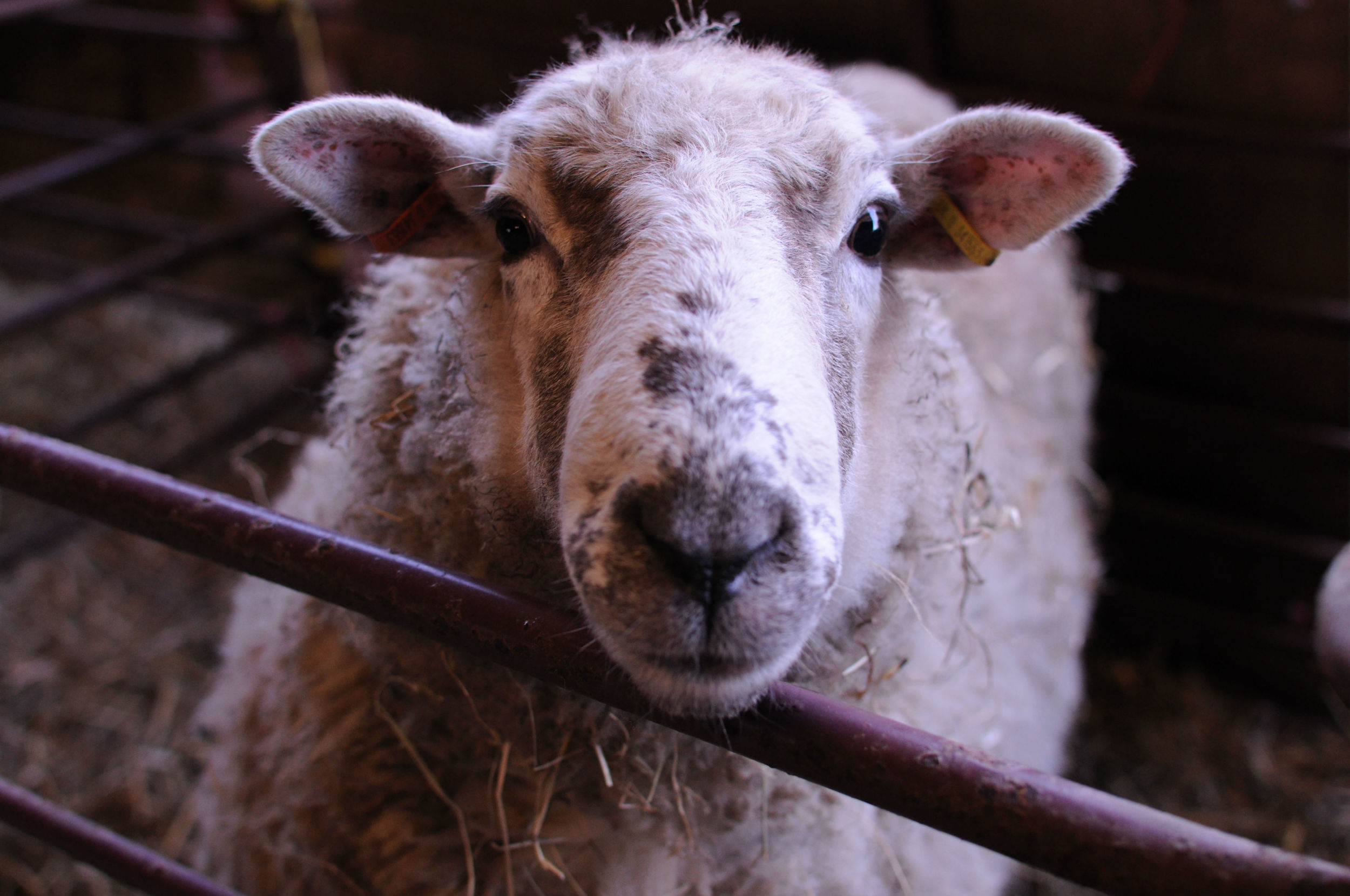 Dorset Cross Ewe