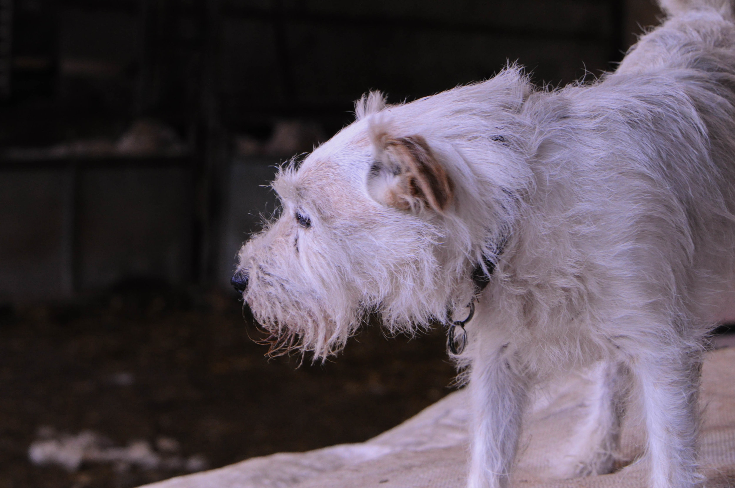 Monty the farm dog, a working terrier