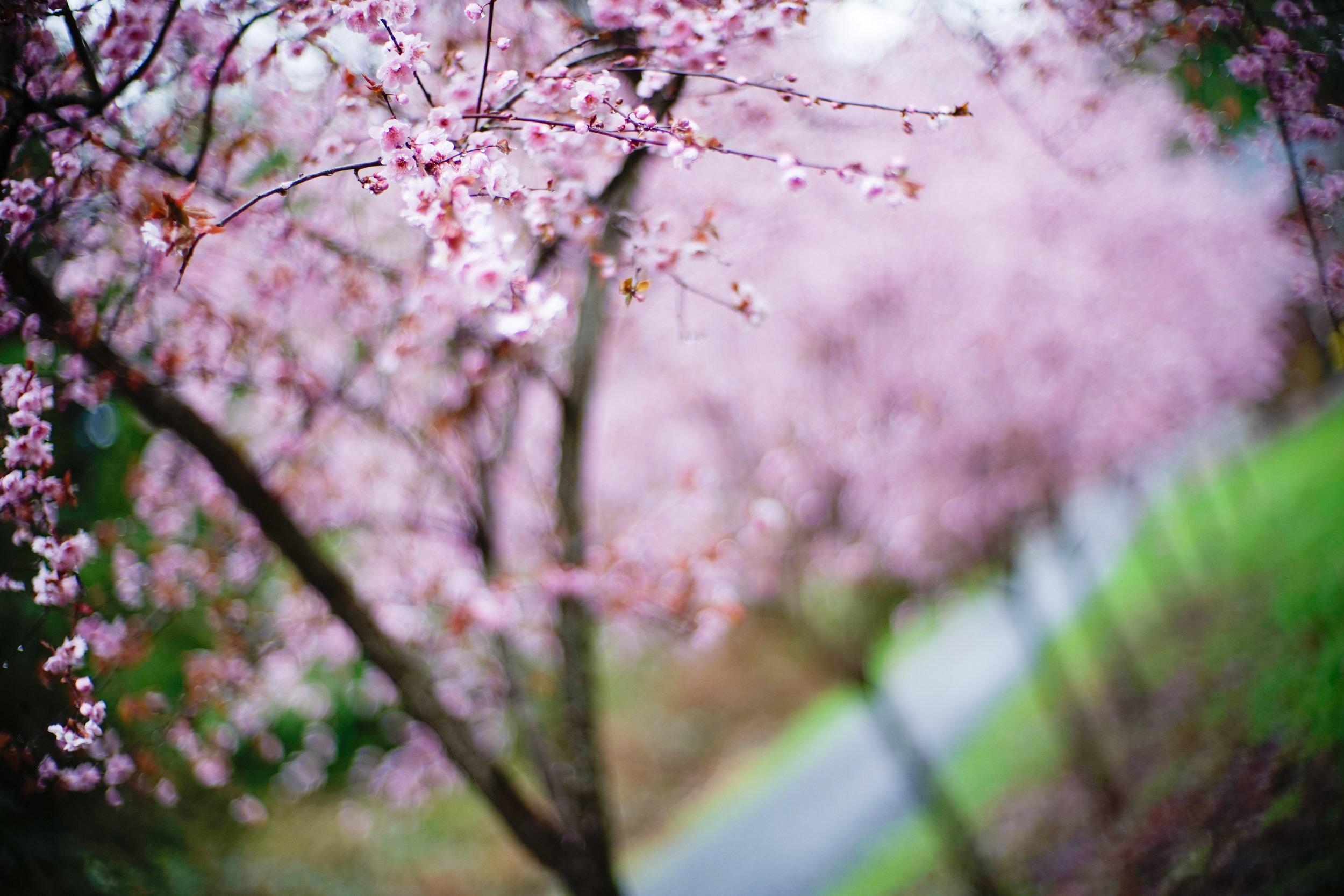 SpringPlumBlossoms-1.jpg
