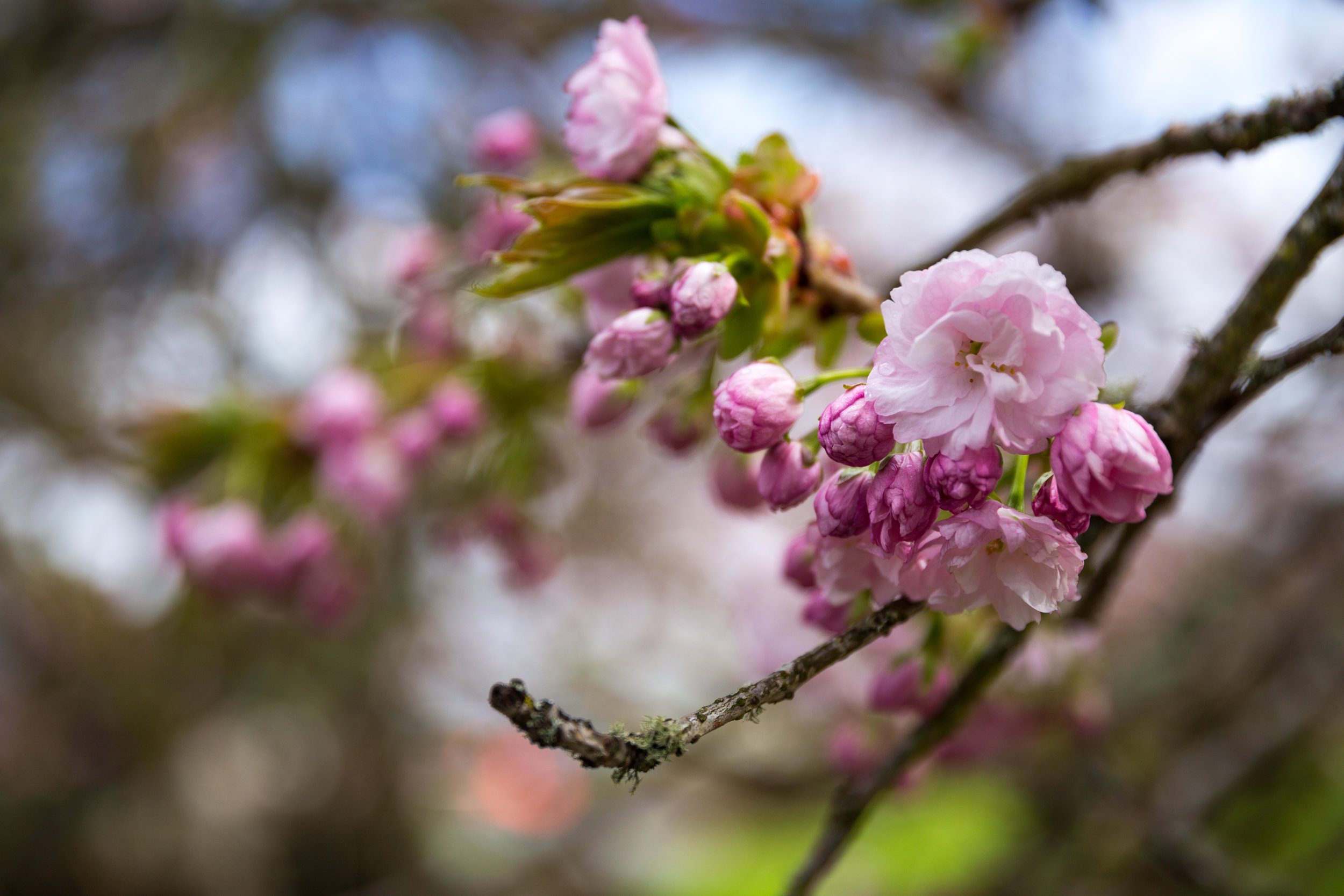 4 april 12th 2018 point defiance flowers flowering trees 5 stars-44.jpg
