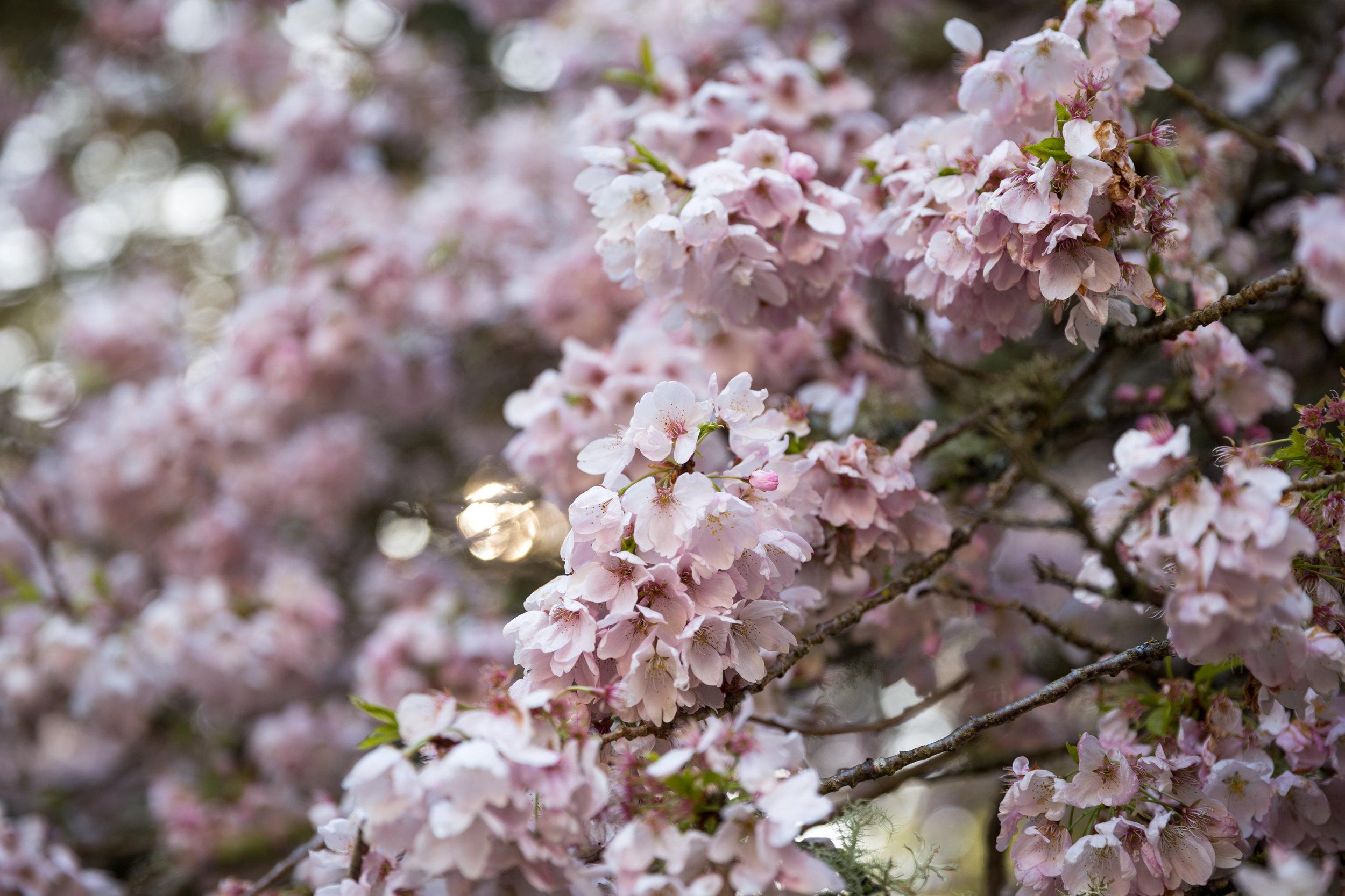 4 april 12th 2018 point defiance flowers flowering trees 5 stars-91.jpg