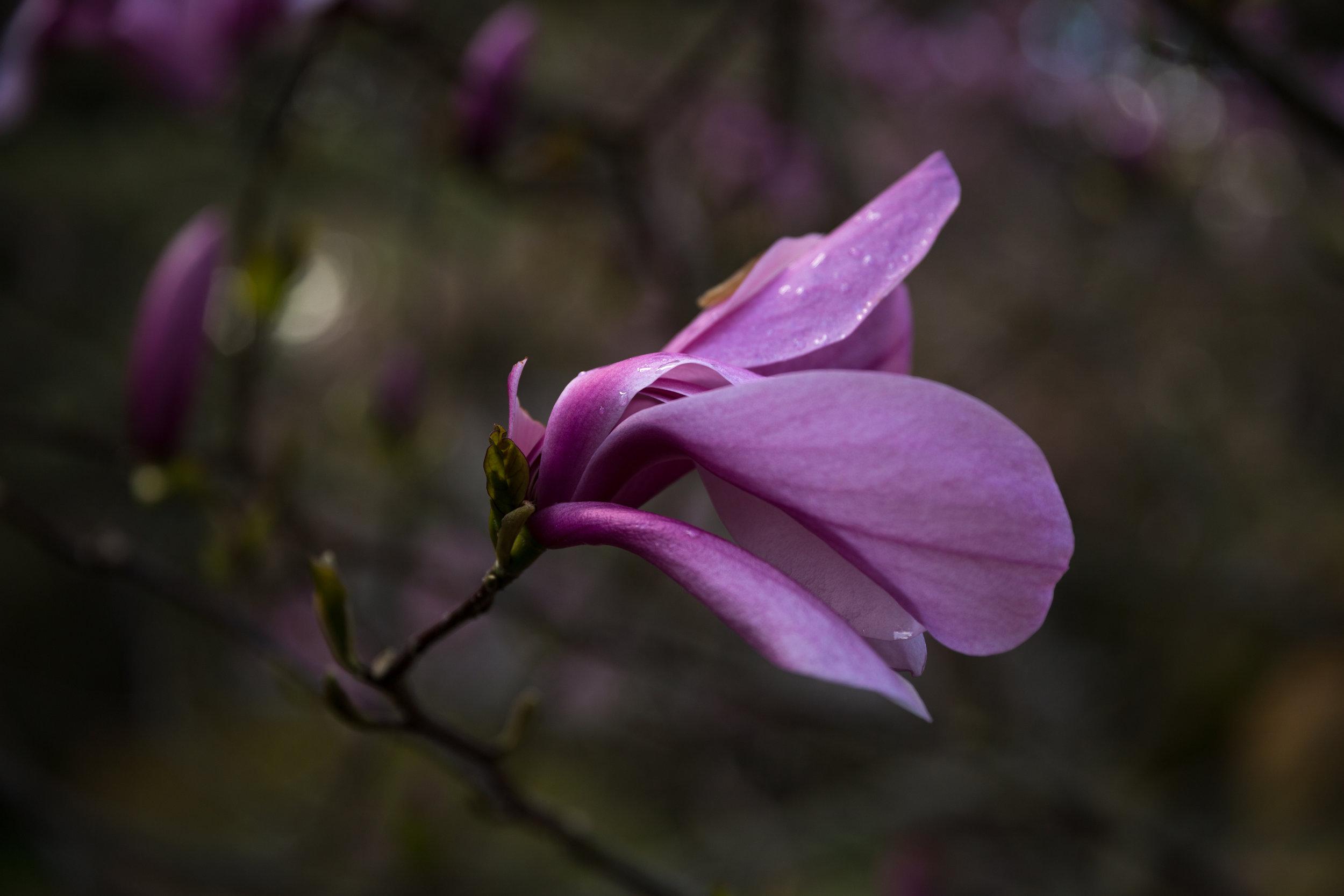 4 april 12th 2018 point defiance flowers flowering trees 5 stars-125.jpg