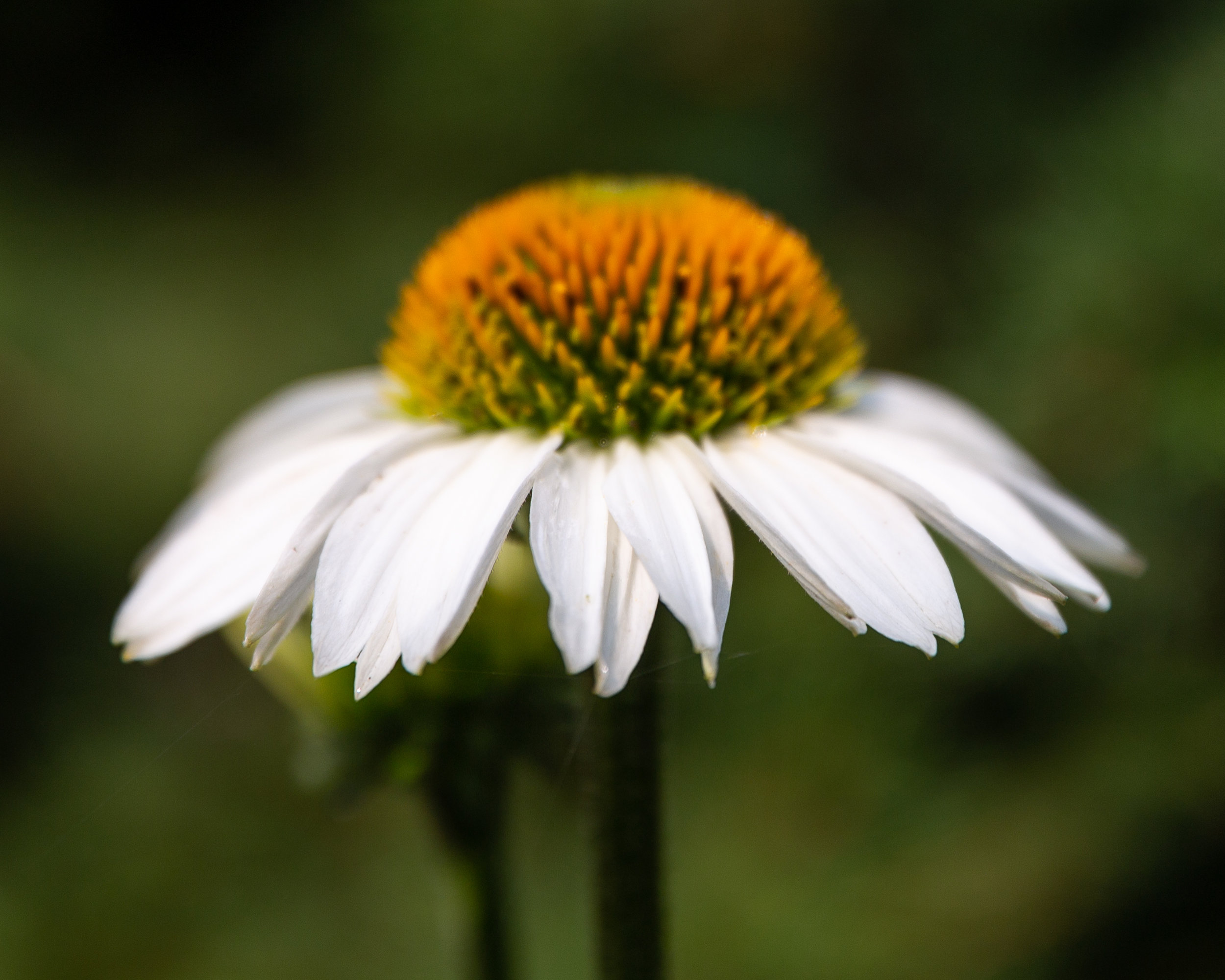 14 august 2018 flowers in my garden 5 stars (1 of 24).jpg