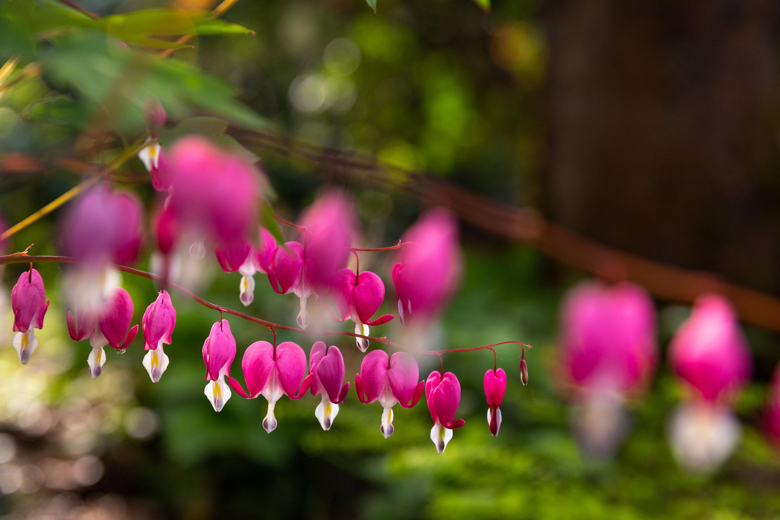 may 7 otis garden flowers oly 2018 5 star edits jenny l miller (157 of 368).jpg