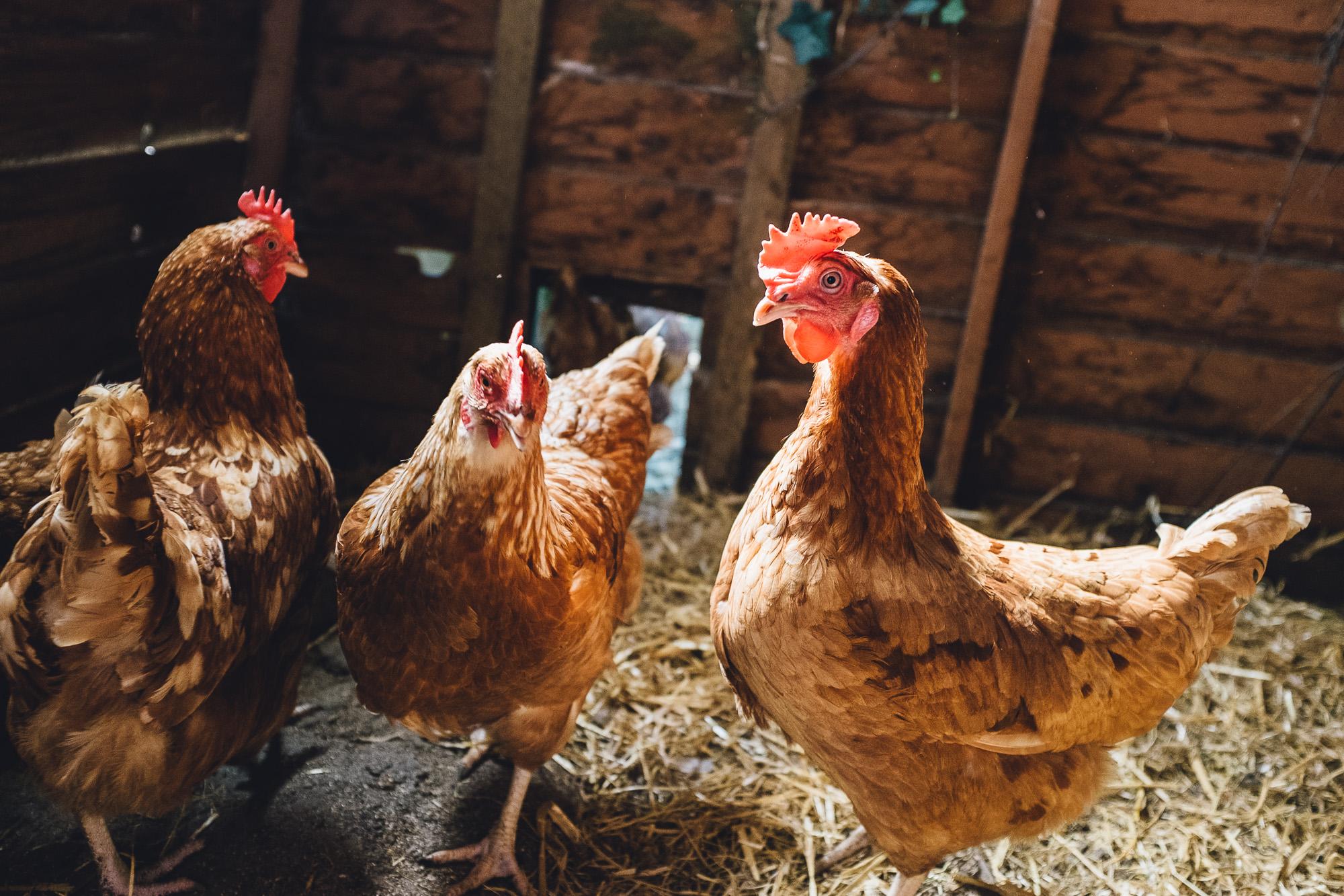 Fuji X100s chickens
