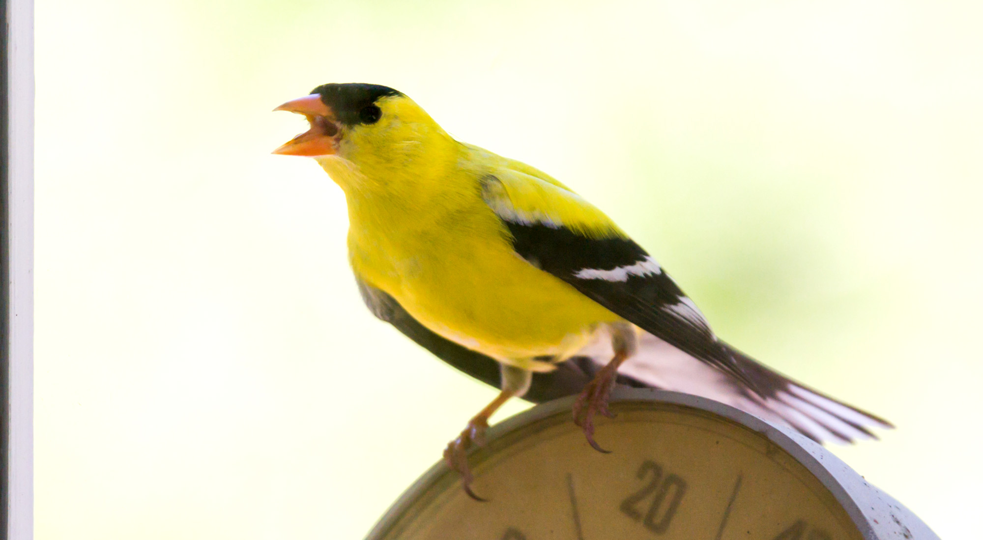 And this goldfinch was getting pretty defensive / aggressive towards his own reflection in the window pane.